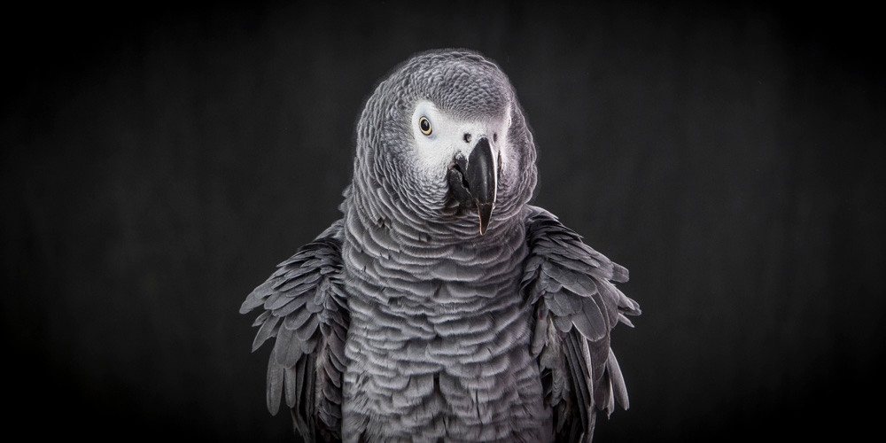 Jack, the African Grey parrot had his feathers ruffled yesterday in my studio. A beautiful creature, I kept my fingers to myself!