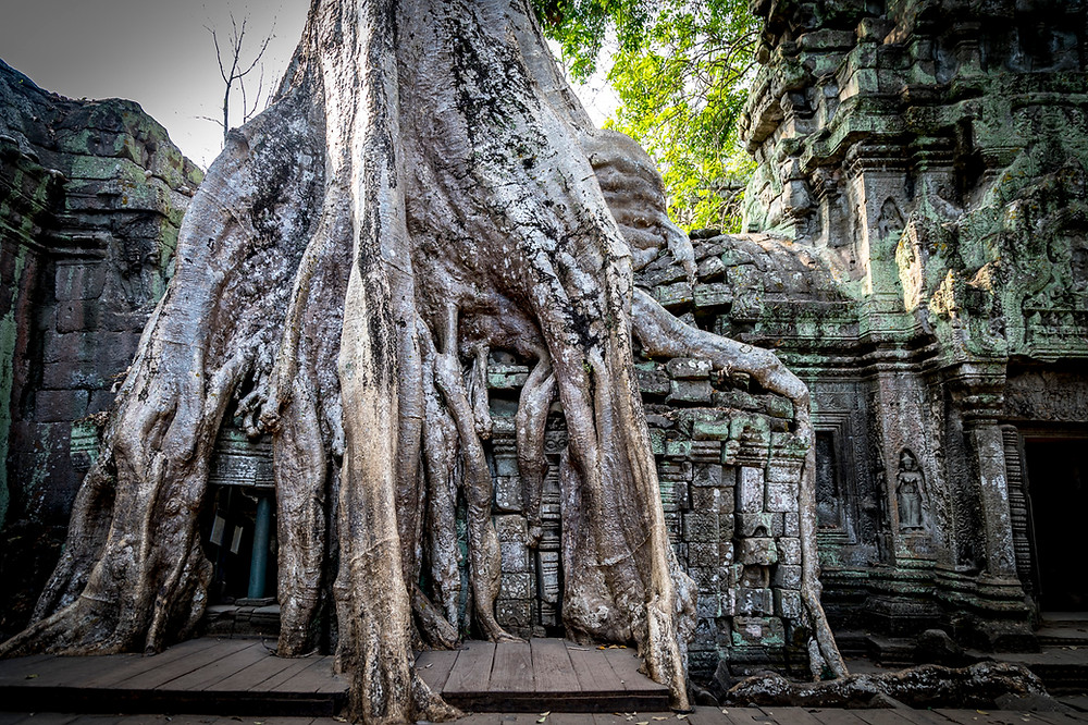 Ta Prohm, the 'Tomb Raider' temple has been swallowed up by the jungle for so many years the stone & jungle have become as one