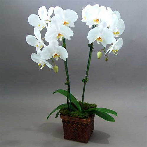 Orchid Double Stems