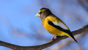 Evicted from Canada, Anne Arundel birds wait to be counted January 3