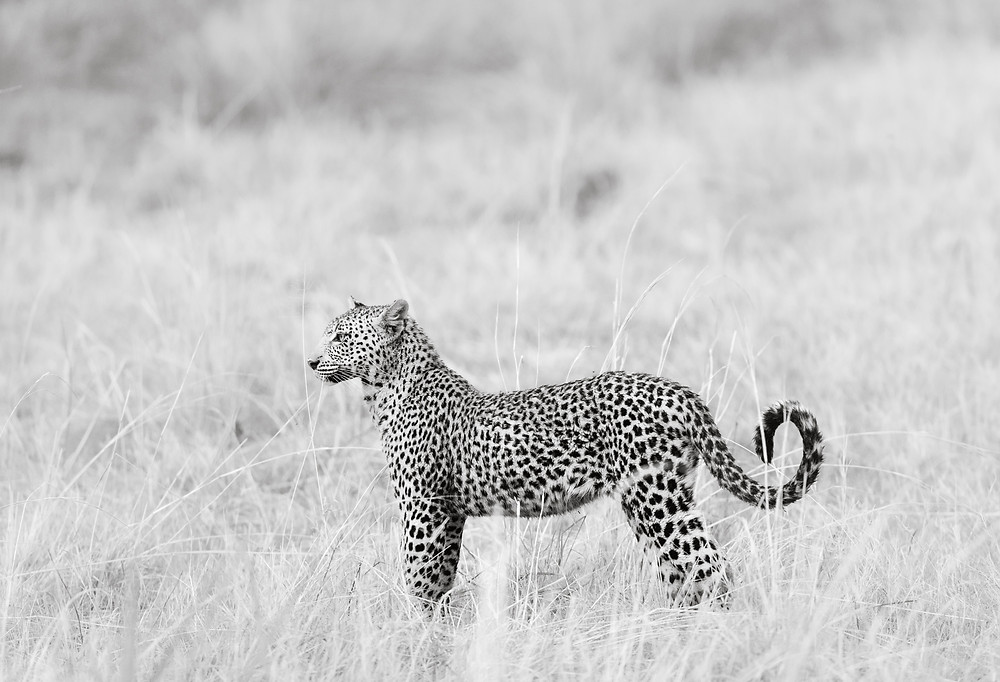 juvenile leopard stands at attention