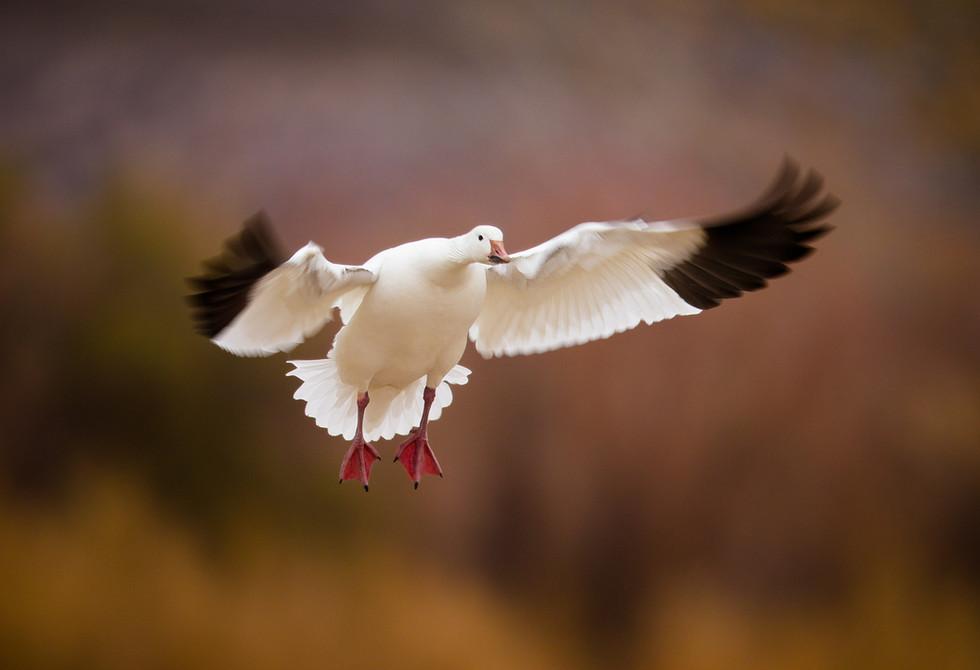 Snow Goose Landing.jpg