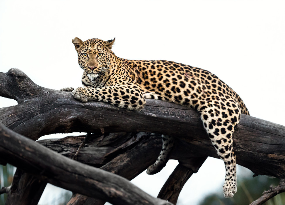 Resting Leopard-2.jpg