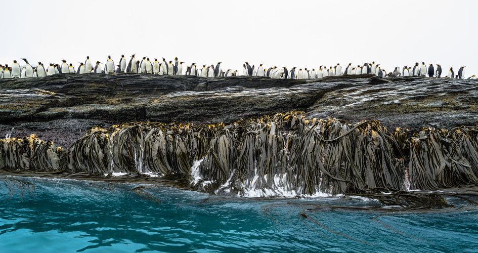 Kelp and Penguins.jpg