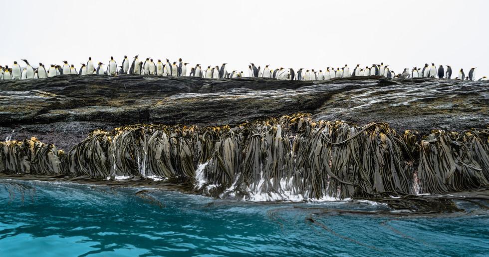 Kelp and Penguins.jpg