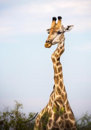 Kinky Giraffe.jpg