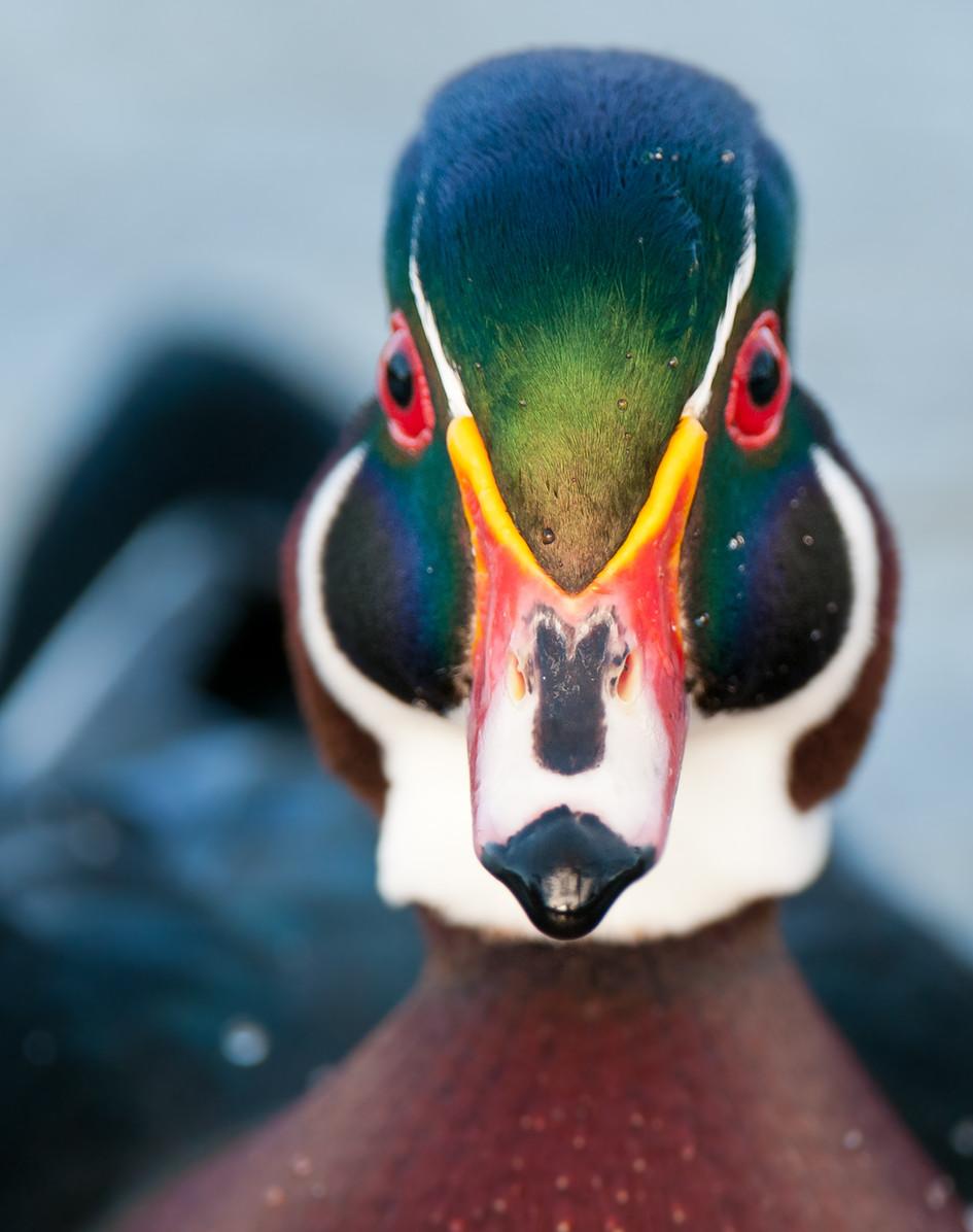 Wood Duck Drake.jpg