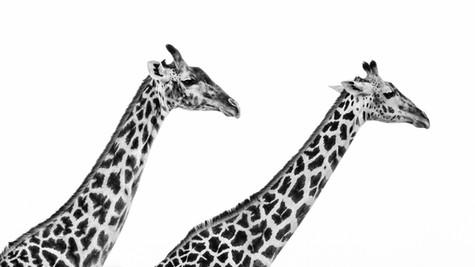 Giraffe Pair.jpg