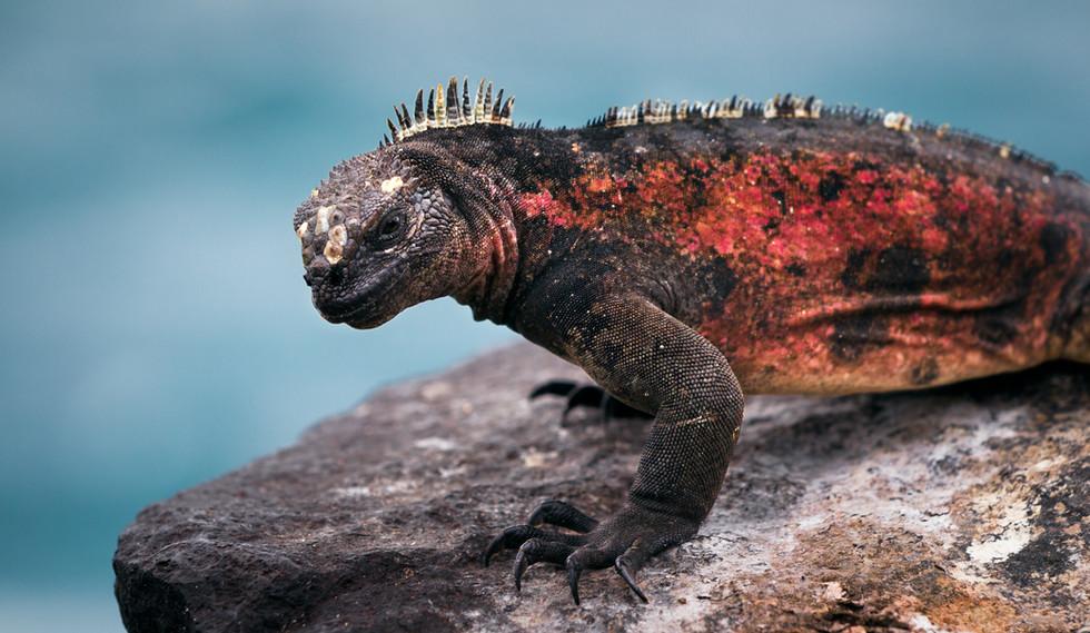 Lava Lizard-2.jpg