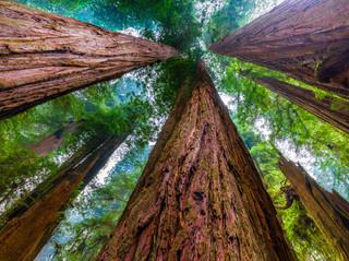 Redwood Canopy.jpg