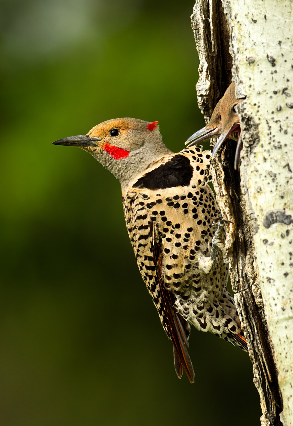 Nortern Flicker at Nest.jpg