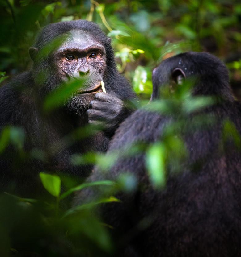 Chimpanzees_•_Kibale_Forest.jpg