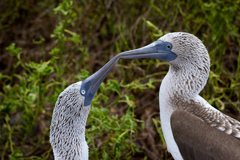Blue Footed Boobies-3.jpg