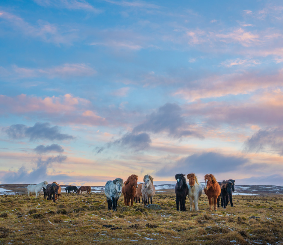 Icelandic Horses under a Painted Sky.jpg