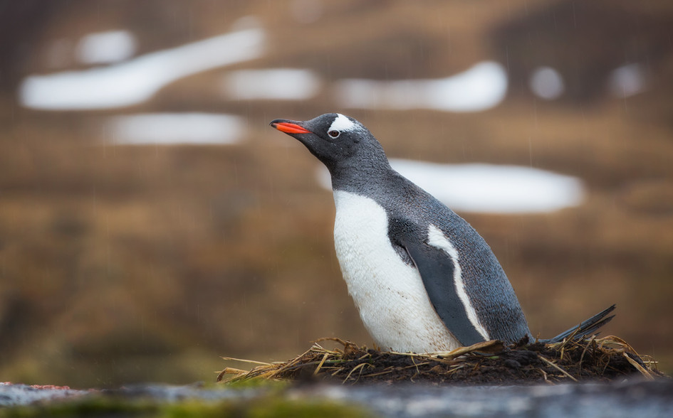 Gentoo Penguin on Nest.jpg