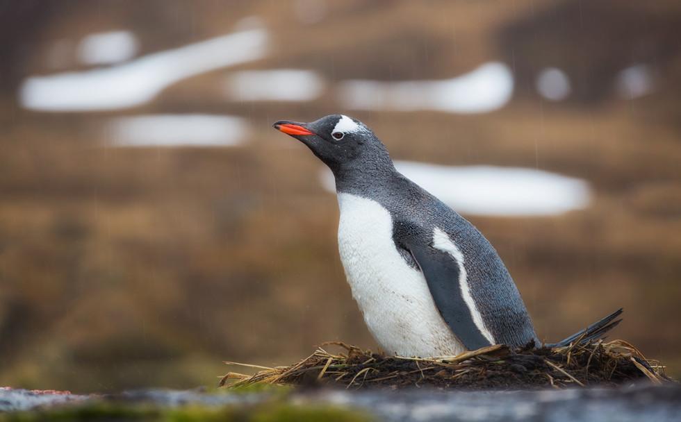 Gentoo Penguin on Nest.jpg