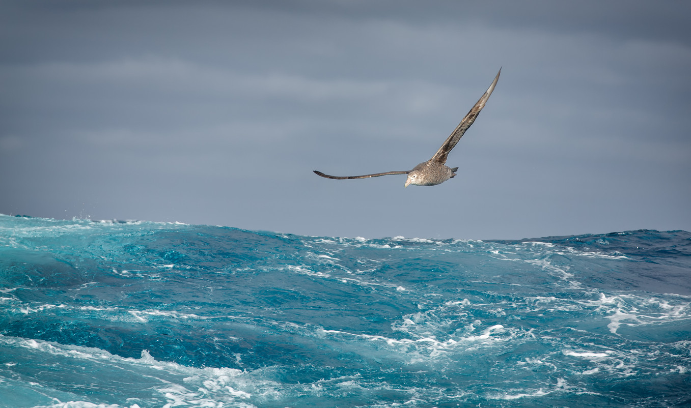 Southern Giant Petrel over the Scotia Sea.jpg