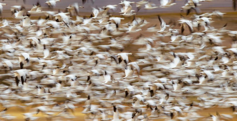 Snow Geese Blast off.jpg