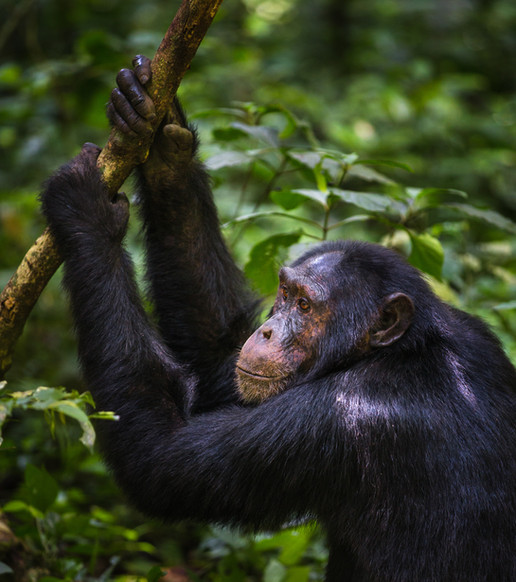 Chimpanzee_•_Kibale_Forest.jpg