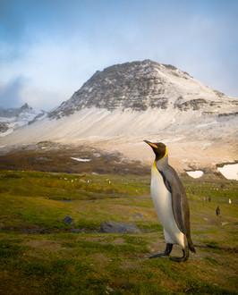 King Penguin at St. Andrew's Bay.jpg