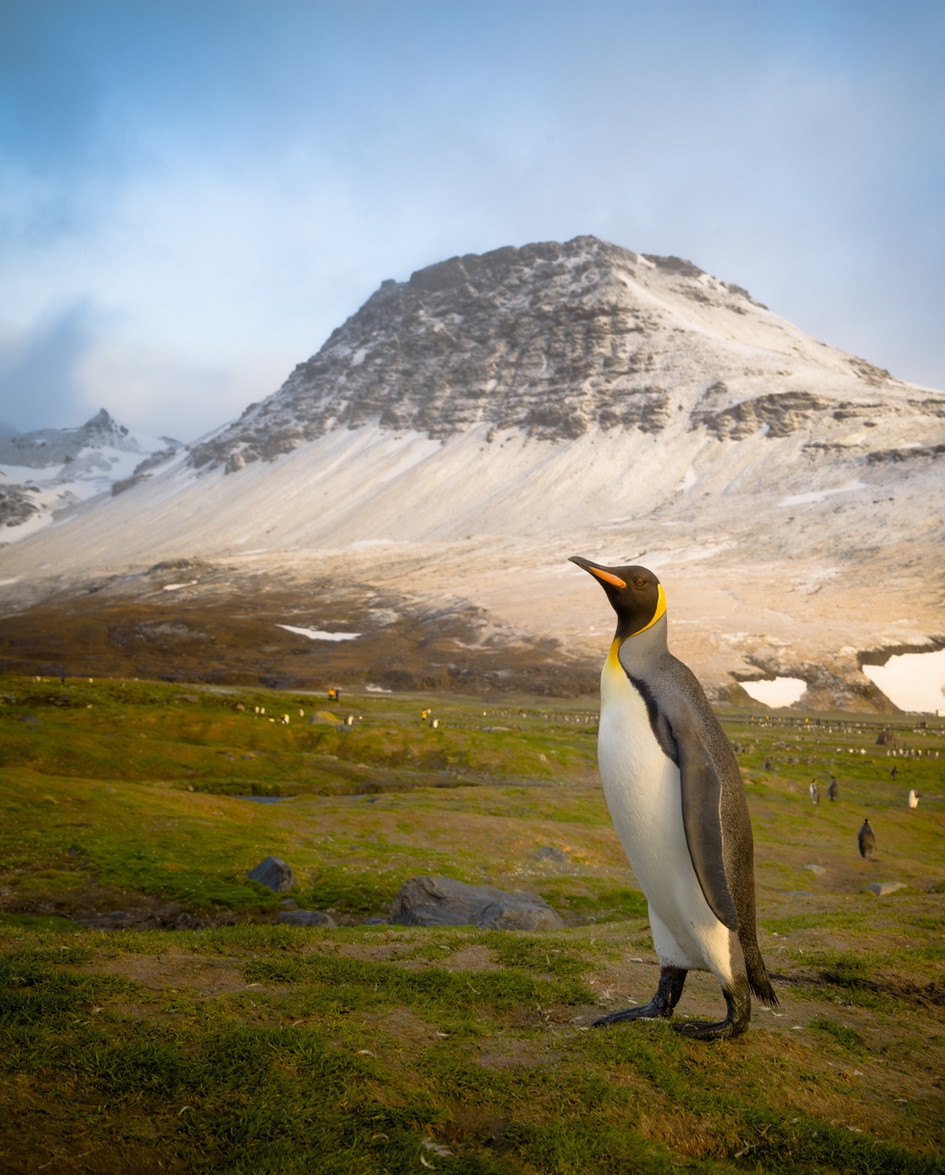King Penguin at St. Andrew's Bay.jpg