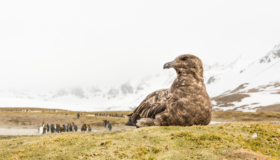 Skua on the Lookout.jpg