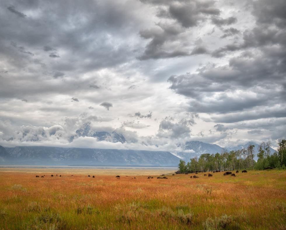 Bison in a Field.jpg
