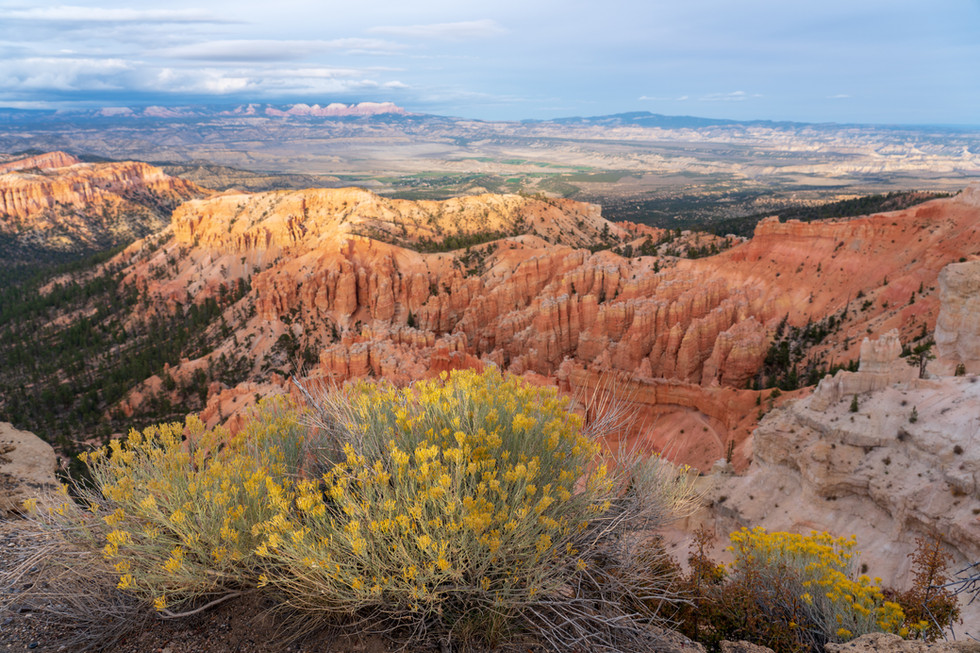 Rubber Rabbitbrush over Bryce.jpg