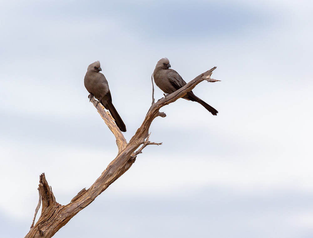pair of grey go away birds