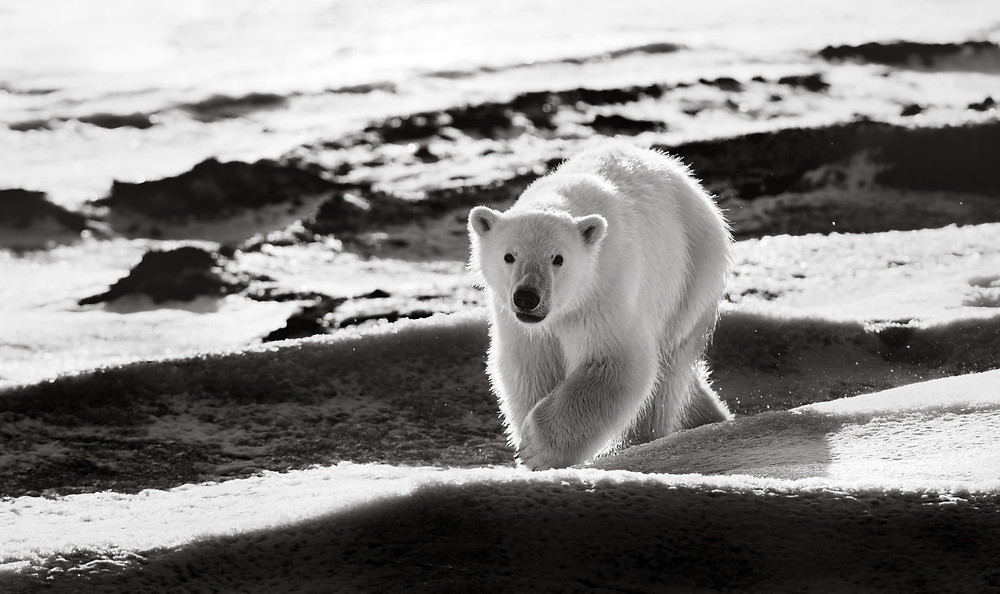 a bear cub in black and white