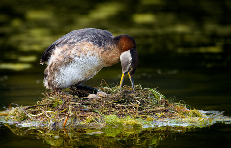 Red-necked Grebe Nesting.jpg