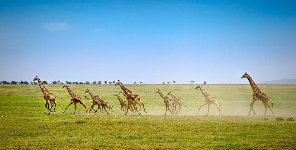 Running Giraffe's On The Open Serengeti.jpg
