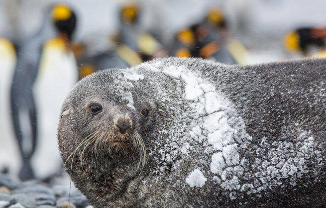 Freezing Fur Seal.jpg