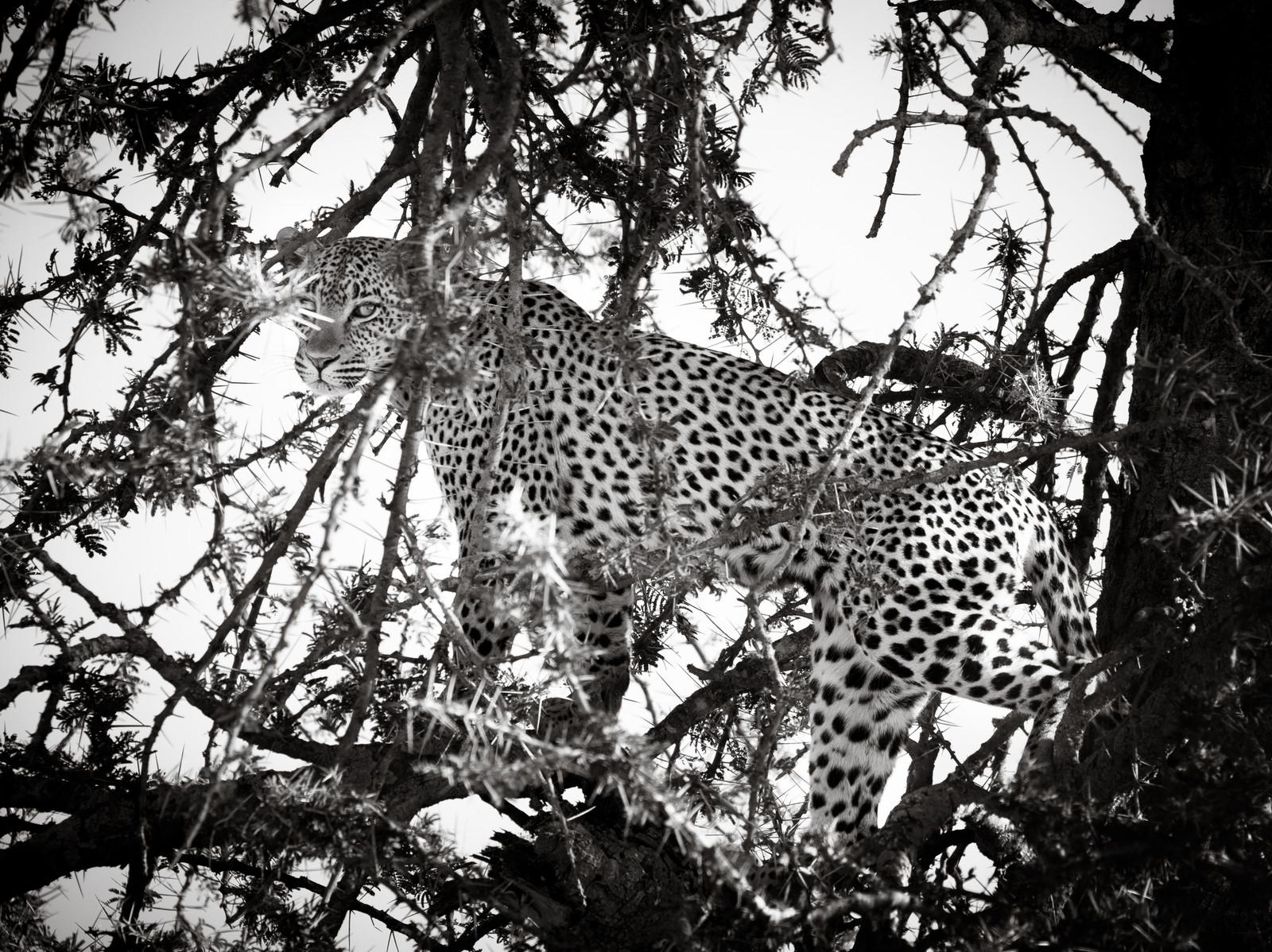 Hidden Leopard Jpg