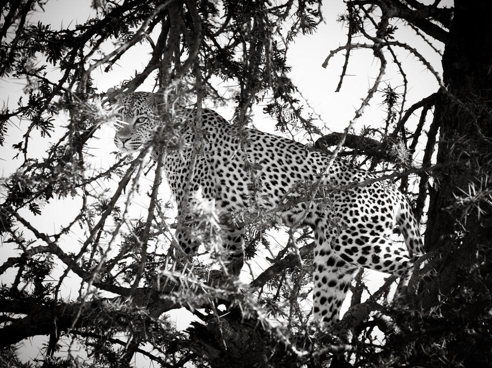 Hidden Leopard.jpg