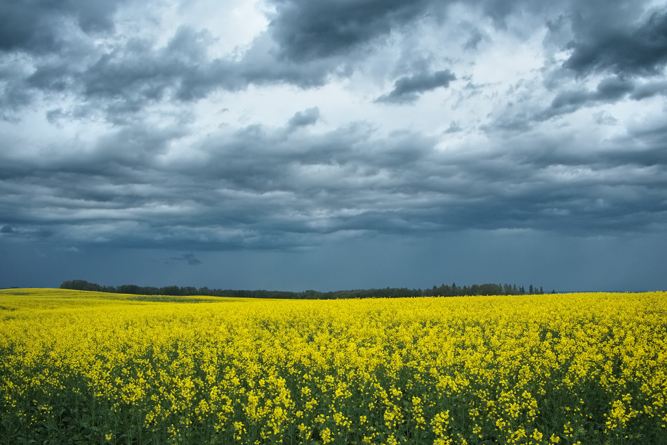 Canola and Clouds.jpg