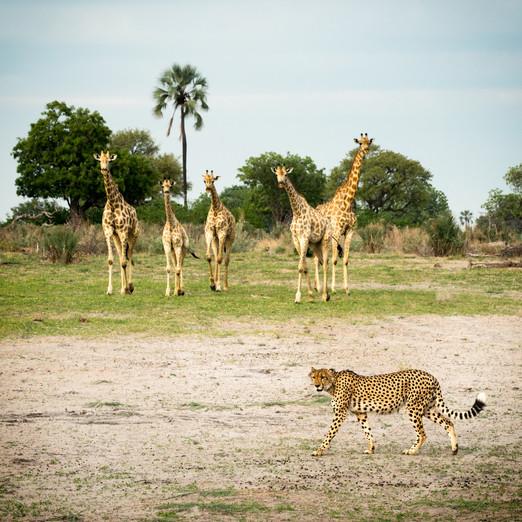 Cheetah and Giraffes.jpg