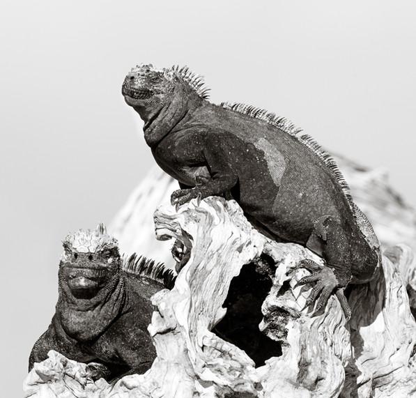 Marine Iguanas of Fernandina.jpg