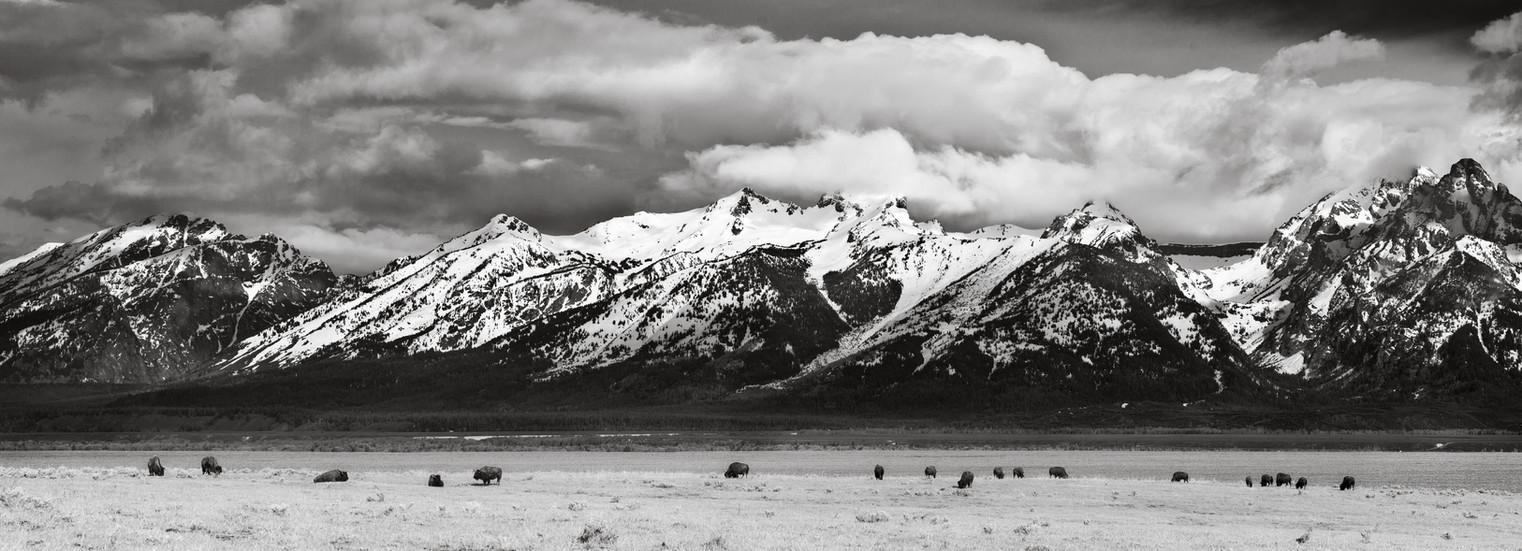 Bison Grazing Under the Tetons.jpg
