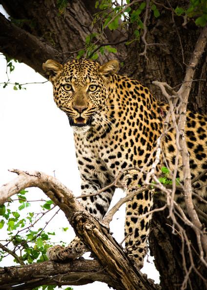 Watchful Leopard.jpg