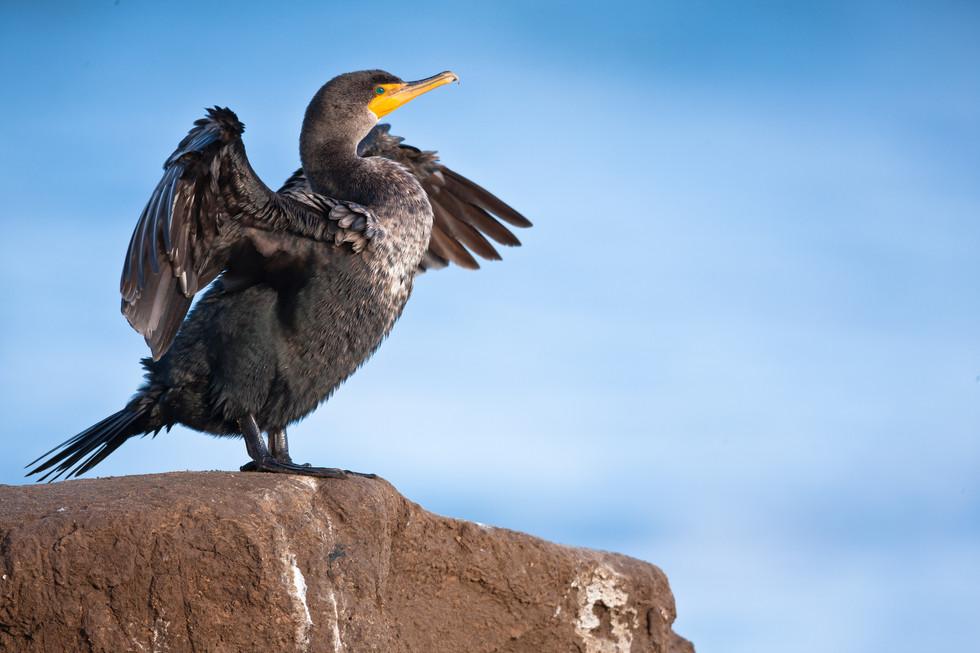 Double Crested Cormorant.jpg