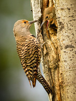 Northern Flicker and Chick.jpg