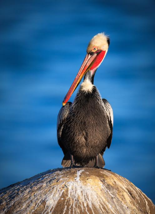 California Brown Pelican and Pacific Blu