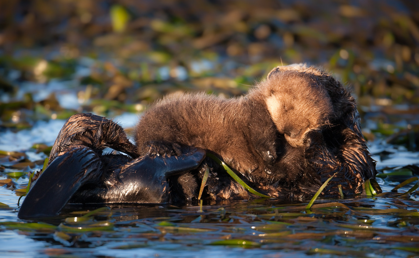 Otter Pup Napping.jpg