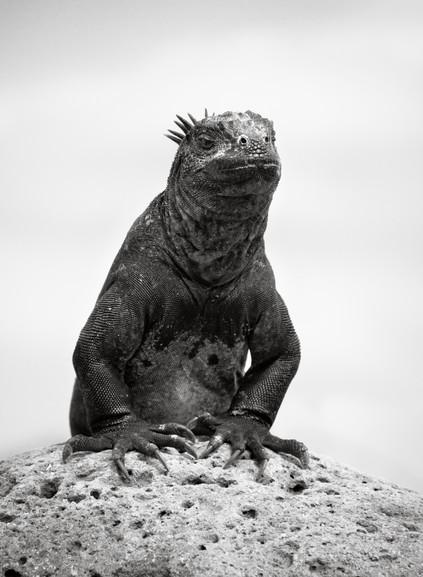 Marine Iguana-3.jpg