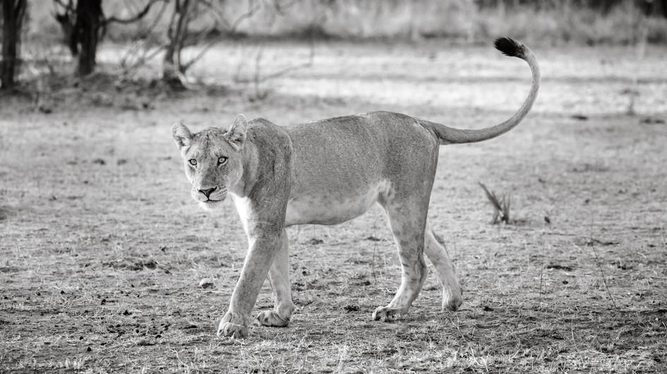 Curious Lioness.jpg