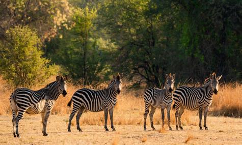Posing Zebras.jpg