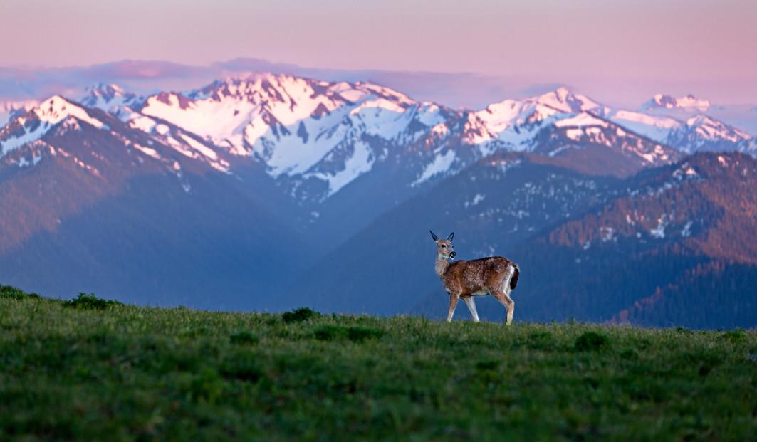 Lone Deer at Hurricane Ridge.jpg