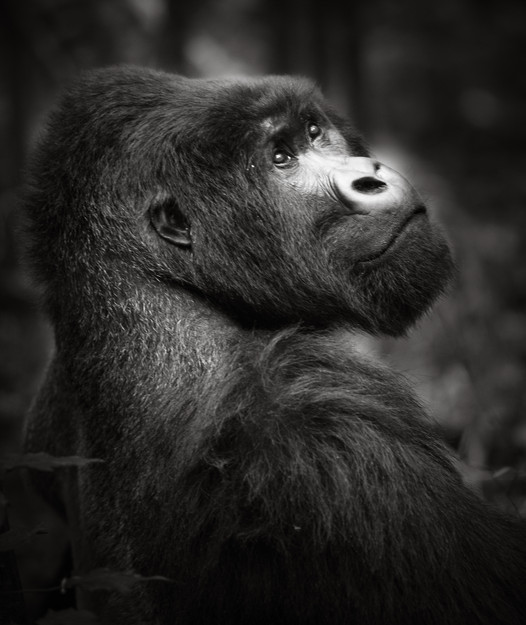 Silverback Mountain Gorilla-2.jpg