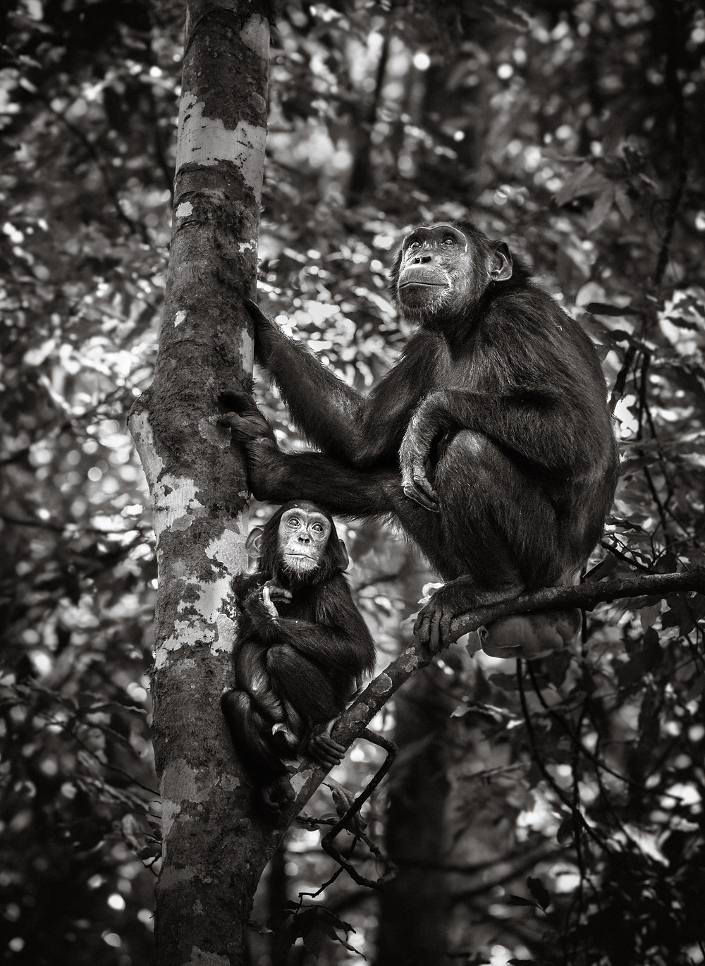 mother and child chimpanzees